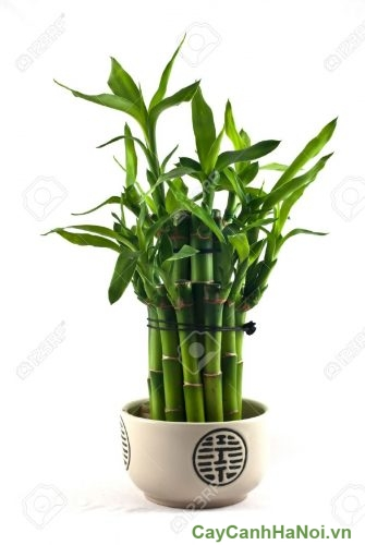 11800894-lucky-bamboo-dracaena-sanderiana-in-a-porcelain-pot-stock-photo
