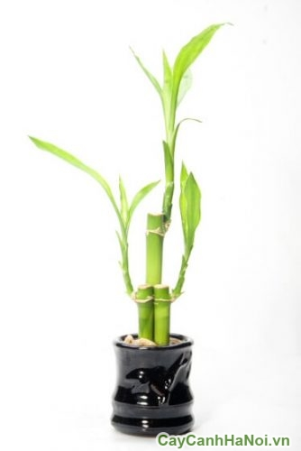 lucky-bambool2