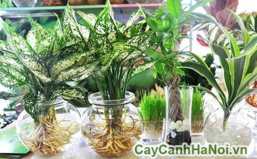 cay-canh-thuy-canh-3